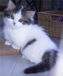 Kucing Munckhin Beauty Cats