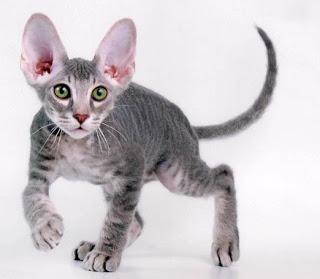 Jual kucing british shorthair 2015